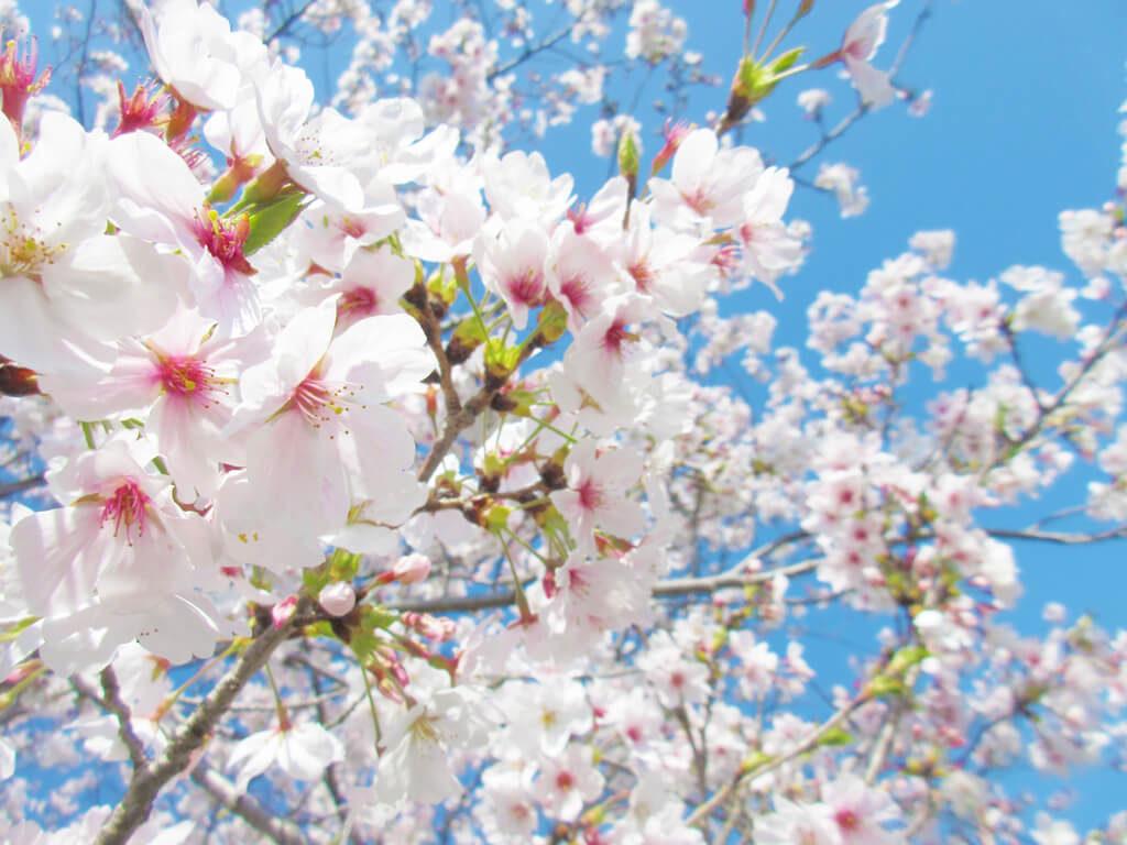 スタッフブログ|春|桜|画像01