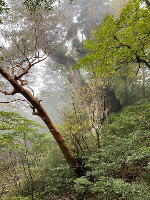 スタッフブログ|自然を満喫する旅|縄文杉|画像15