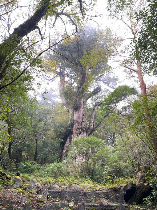 スタッフブログ|自然を満喫する旅|縄文杉|画像14