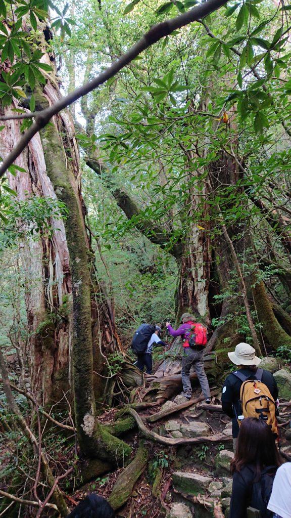 スタッフブログ|自然を満喫する旅|縄文杉|画像10